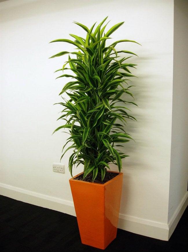 Η Δράκαινα είναι από τα πιο διαδεδομένα φυτά για εσωτερικό χώρο.
